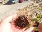 Porto Roxi, Zakynthos - na kamieniach można znaleźć różne ciekawe rzeczy - tutaj martwy jeżowiec