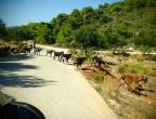 Jadąc mniejszymi drogami można spotkać kozy - droga do latarni morskiej na przylądku Keri